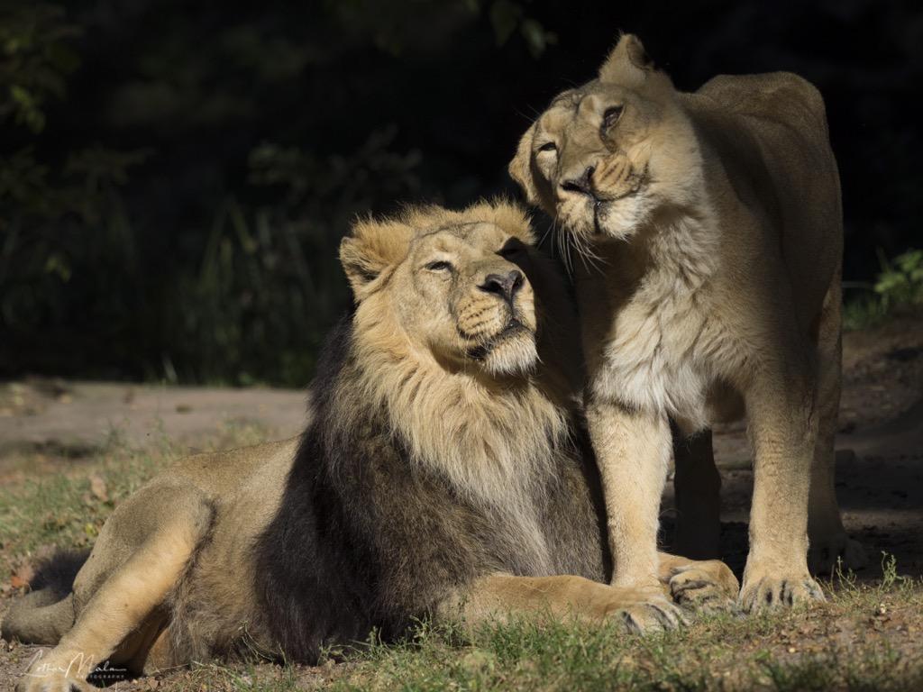Asiatische Löwen