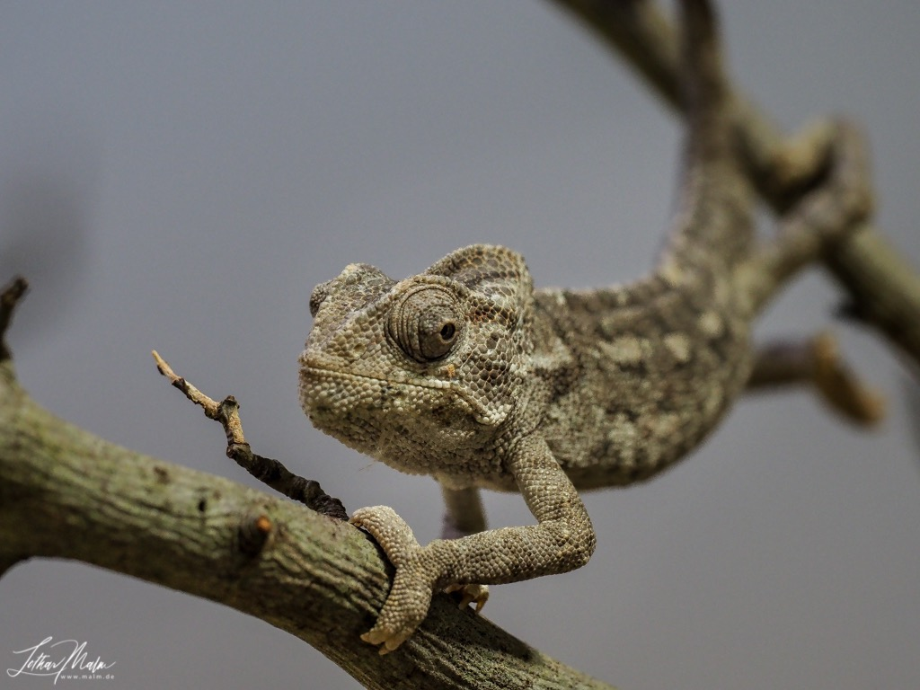 Mittelmeer Chameleon