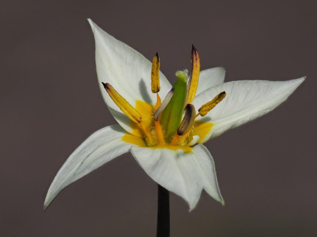 Tulipa bilflora