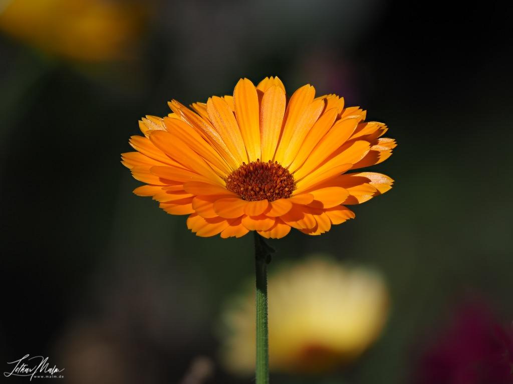 Garten Ringelblume