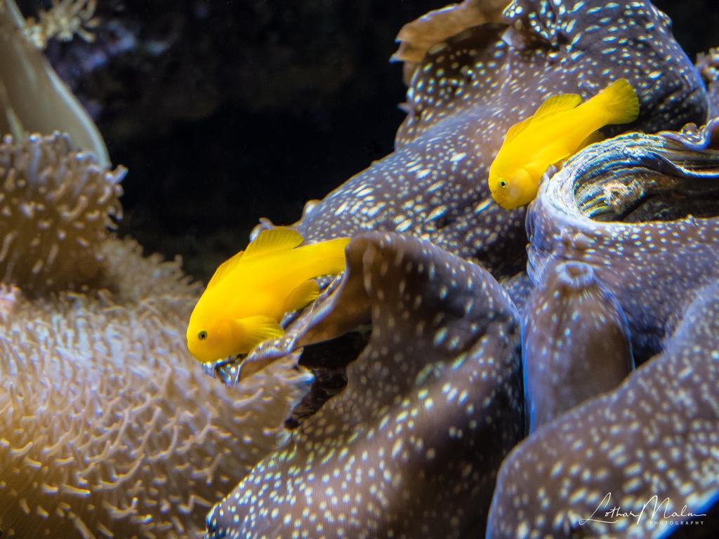 Gelbe Korallengrundel