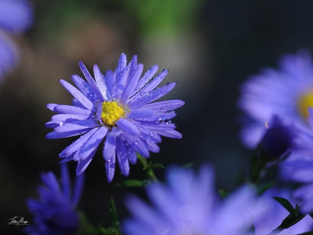Lavendelblaue Bergaster