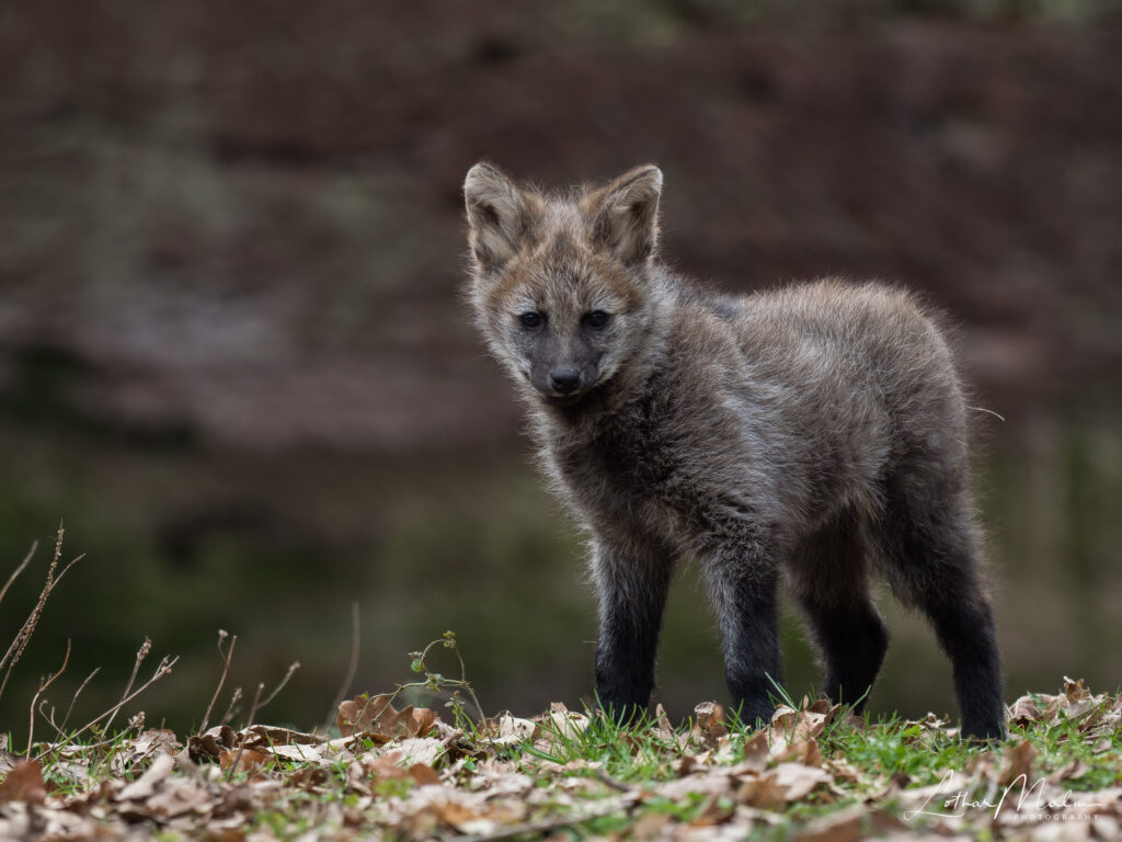 Junger Mähnenwolf