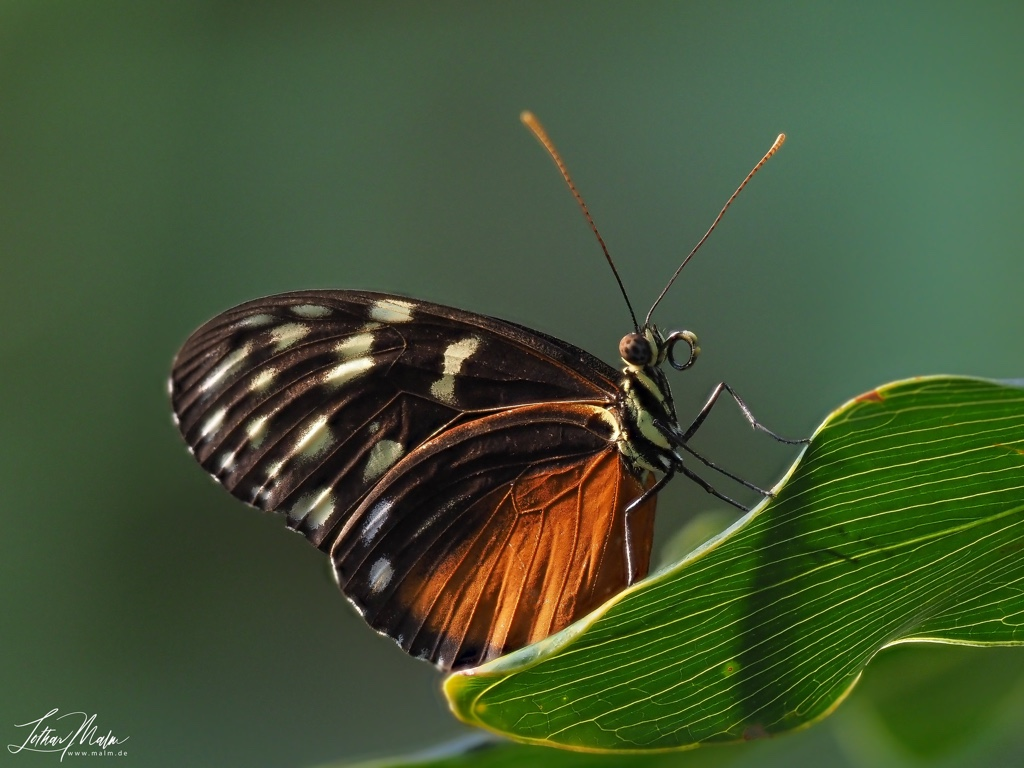 Eueides isTiger Longwing Butterflyabella