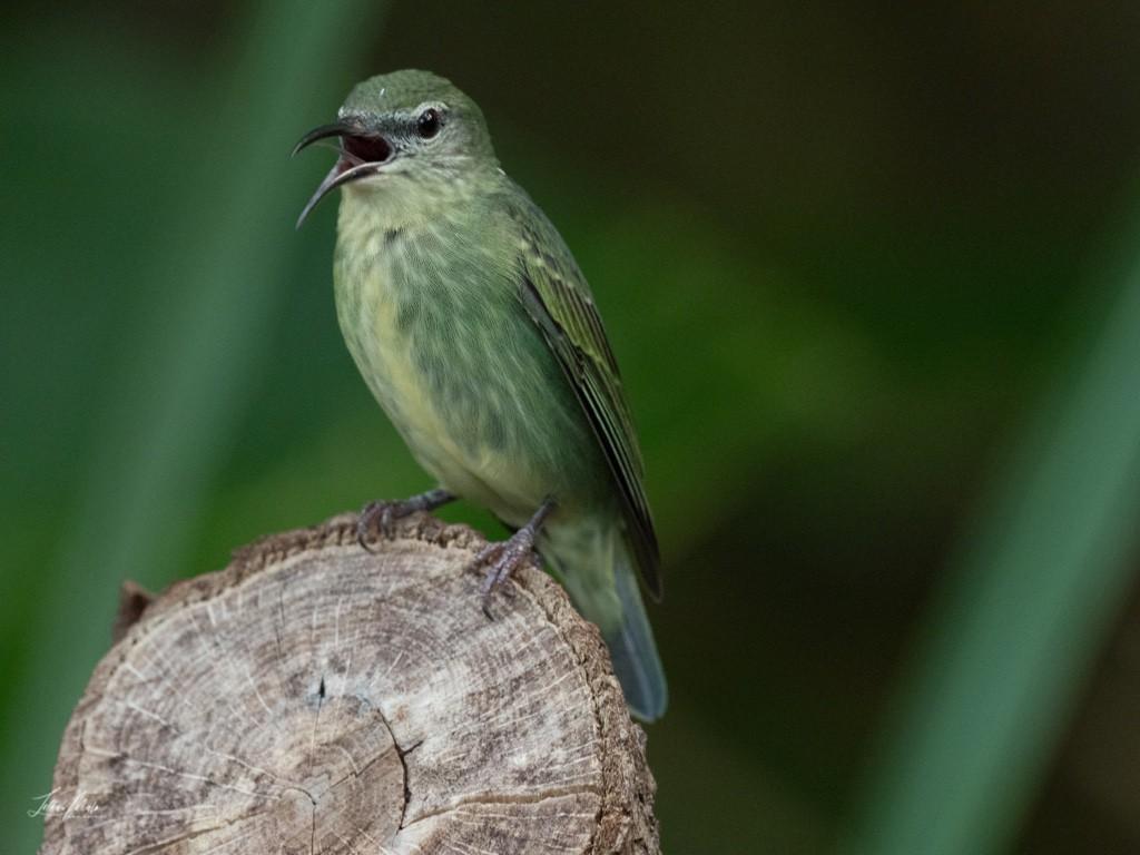 T&uumlrkisnaschvogel-Weiblich