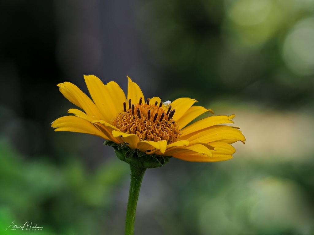 Garten-Sonnenauge